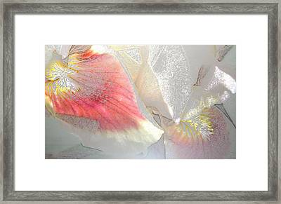 Sangria White Iris Framed Print by Gretchen Wrede