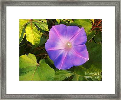 Sanibel Morning Glory Framed Print by Rhonda Lee