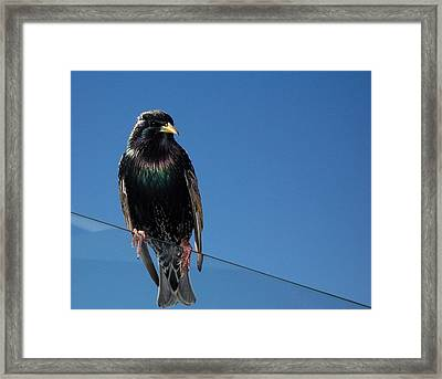 Framed Print featuring the photograph Santa Monica Pier Starling by Peter Mooyman
