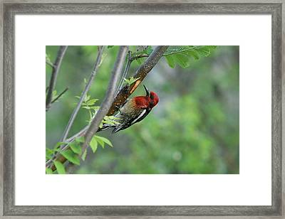 Sapsucker Feeding Framed Print