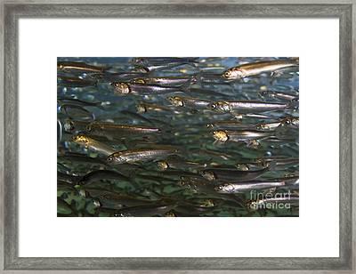 Sardines Anyone Framed Print by Darcy Michaelchuk