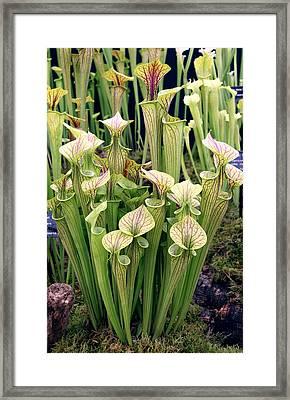 Sarracenia Flava Ornata Framed Print