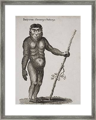 Satyrus, Ourang Outang. Engraved By Framed Print by Ken Welsh