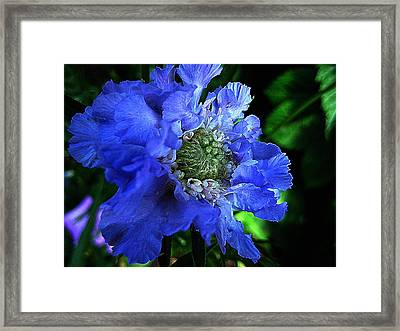Scabiosa Framed Print by Shirley Sirois