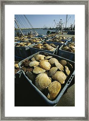 Scallop-filled Crates Stacked On An Framed Print