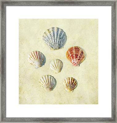 Scallop Shells Framed Print by Paul Grand Image