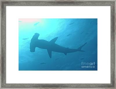 Scalloped Hammerhead Shark Framed Print by Sami Sarkis