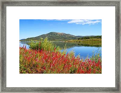Scarlet Gilia Framed Print