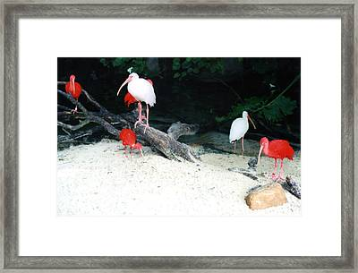 Framed Print featuring the photograph Scarlet Ibis And Spoonbills by Maureen E Ritter