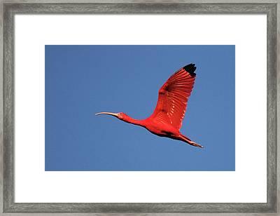 Scarlet Ibis Framed Print by Copyright Faraaz Abdool/Hector de Corazón