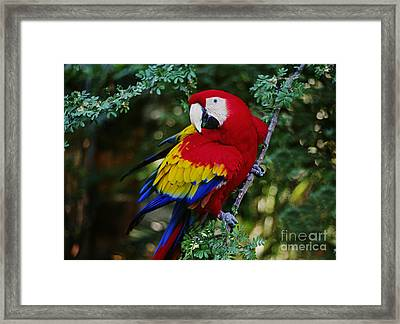 Framed Print featuring the photograph Scarlet Macaw - Guatemalan Rainforest by Craig Lovell
