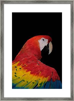 Scarlet Macaw Framed Print by C Thomas Willard