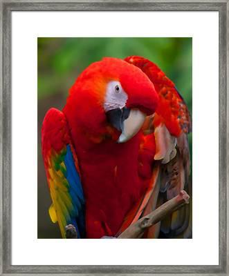 Scarlet Macaw Framed Print by Cindy Haggerty