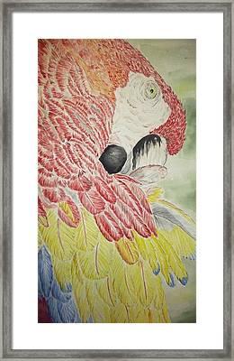 Scarlet Macaw Framed Print by Tim Forrester