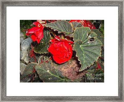 Scarlet Framed Print by Jane Whyte