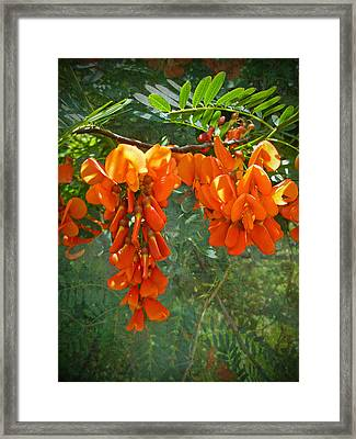 Scarlet Wisteria Tree - Sesbania Punicea Framed Print by Mother Nature