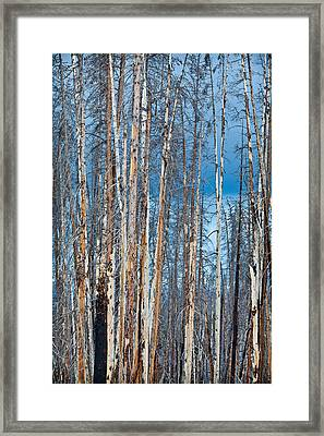 Scarred Pines Yellowstone Framed Print