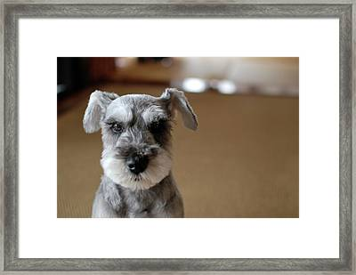 Schnauzer Puppy Framed Print by Ugopapa