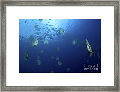School Of Batfish, Christmas Island Framed Print by Mathieu Meur