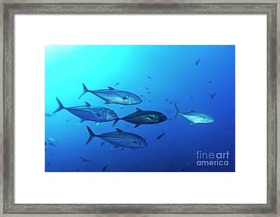 School Of Bigeye Jack Fishes Framed Print