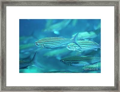 School Of Black Striped Salema Fishes Framed Print