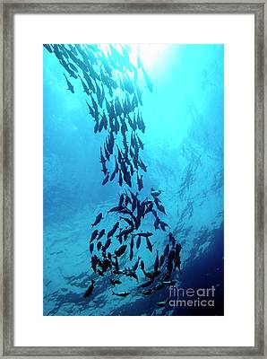 School Of Cortez Sea Chub Fishes Framed Print by Sami Sarkis
