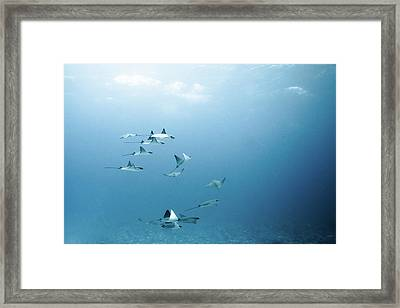 School Of Devil Rays Framed Print by Alexander Safonov