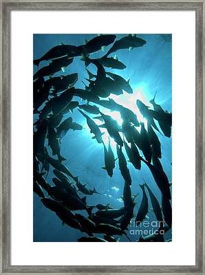 School Of Fishes Framed Print by Sami Sarkis