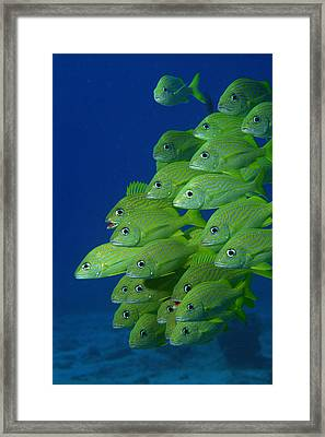 School Of French Bluestriped And Margate Grunts Framed Print
