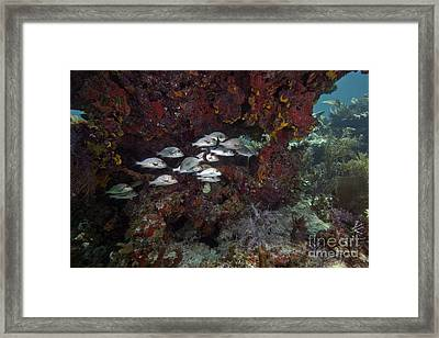 School Of Gray Snapper Amongst Framed Print by Terry Moore