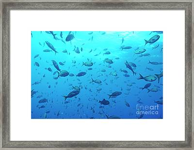 School Of Grunt Fish Framed Print by Sami Sarkis