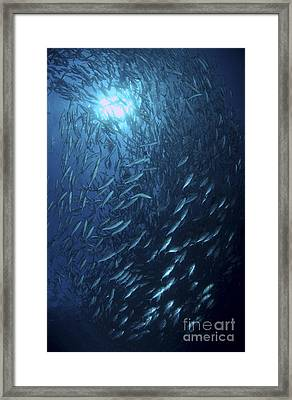 School Of Jacks At Liberty Wreck, Bali Framed Print by Mathieu Meur