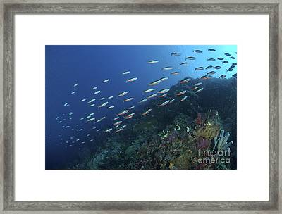 School Of Neon Fusilier Fish, North Framed Print