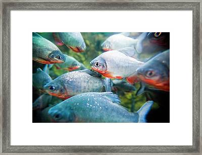 School Of Piranhas Framed Print by Bob Stefko