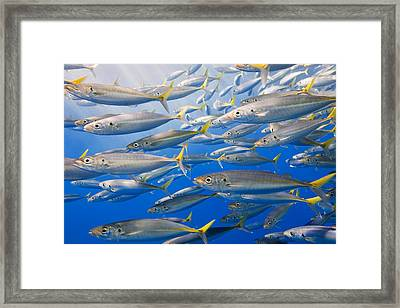 School Of Rainbow Runners, Sea Of Framed Print by Carson Ganci