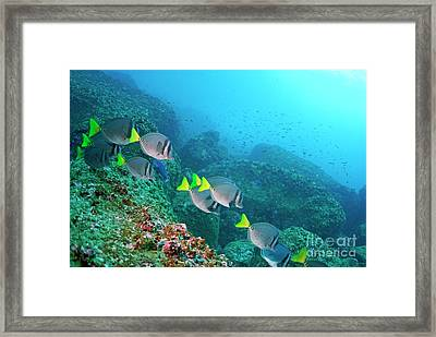 School Of Razor Surgeonfish On Rocky Seabed Framed Print by Sami Sarkis