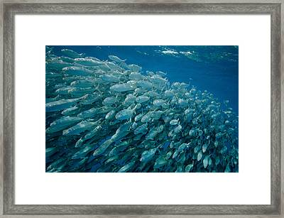 School Of Sardines Framed Print