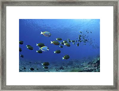 School Of Surgeonfish, Christmas Framed Print by Mathieu Meur