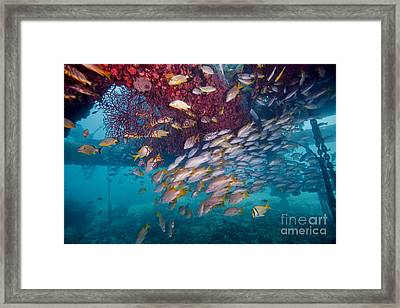 Schools Of Gray Snapper, Yellowtail Framed Print by Terry Moore