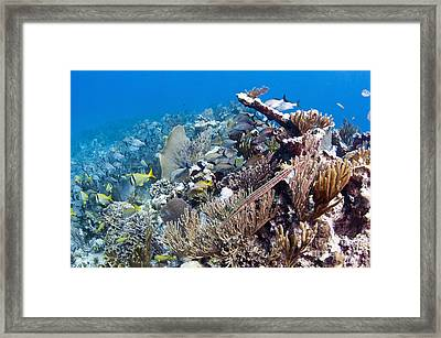 Schools Of Grunts And Snappers On Reef Framed Print