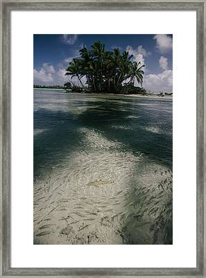 Schools Of Mulletfish Mugilidae Framed Print