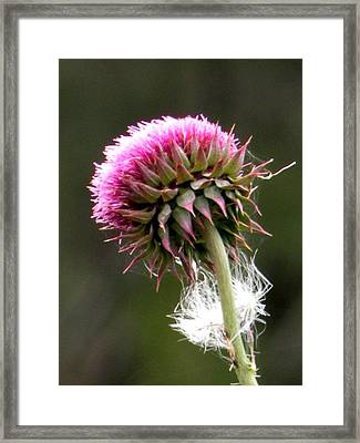Scot Thistle Framed Print by Sandra Sengstock-Miller