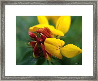 Framed Print featuring the photograph Scotch Broom by Chriss Pagani