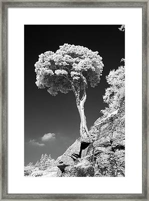 Scots Pine Tree Framed Print by Taken by Timothy Ball