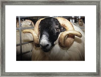 Scottish Blackface Ram Framed Print by David Aubrey