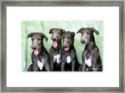 Scottish Deerhound Pups Framed Print by Maxine Bochnia