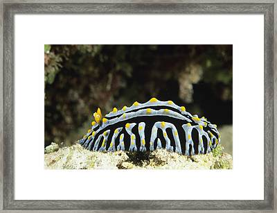 Scrambled Egg Nudibranch Framed Print by Alexis Rosenfeld