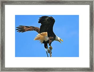 Screaming Eagle Framed Print