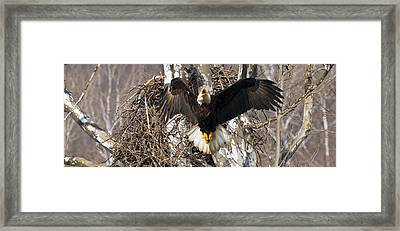 Framed Print featuring the photograph Screaming Eagle  by Randall Branham