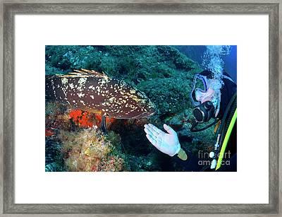Scuba Diver With A Dusky Grouper Framed Print by Sami Sarkis
